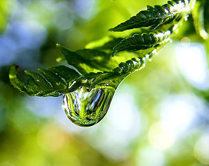 303px-Raindrop_on_a_fern_frond