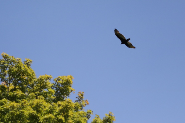 Another soaring bird at Thacher Park.